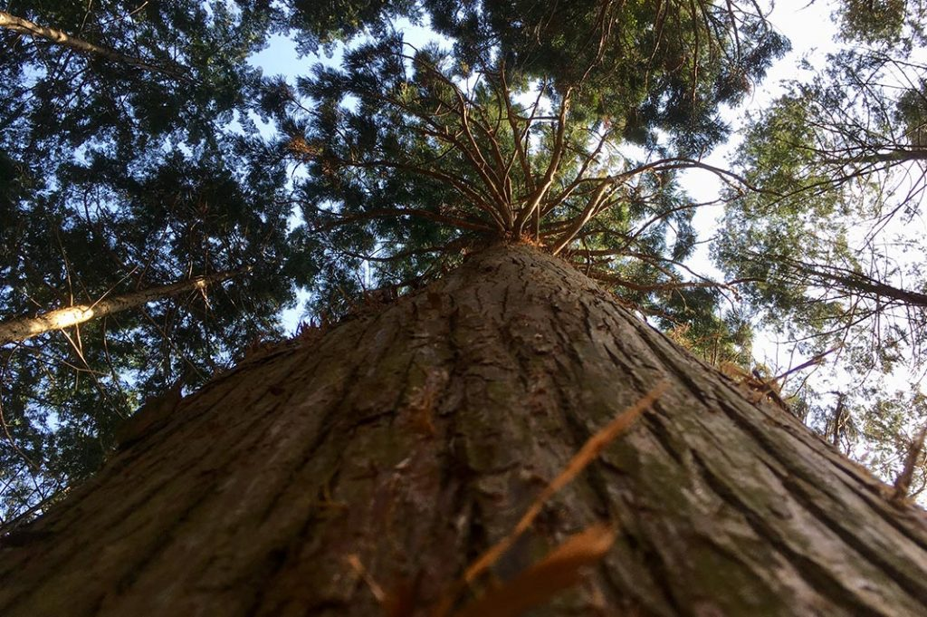 towering cypress trees in the forests of the kumano kodo