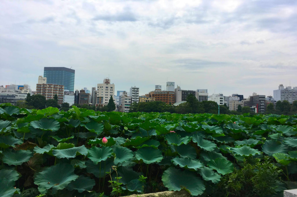 The field of lotus flowers around Bentendo temple can be a strange but beautiful sight against the backdrop of the city.
