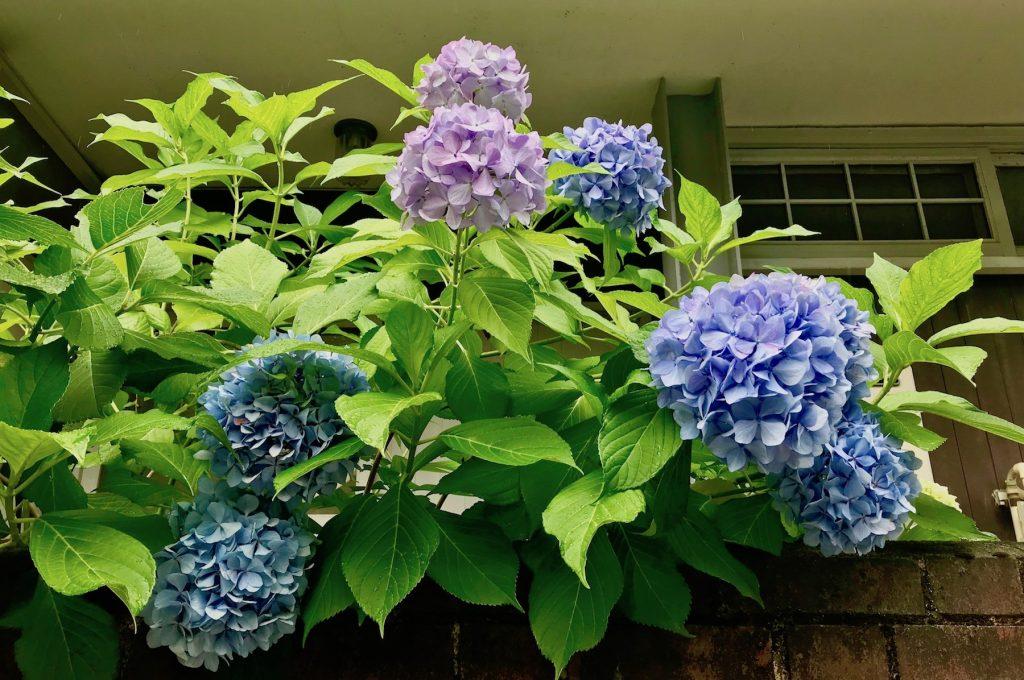 Hydrangeas outside a house
