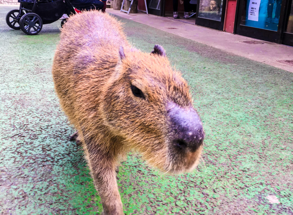 A cute capybara is hanging around.