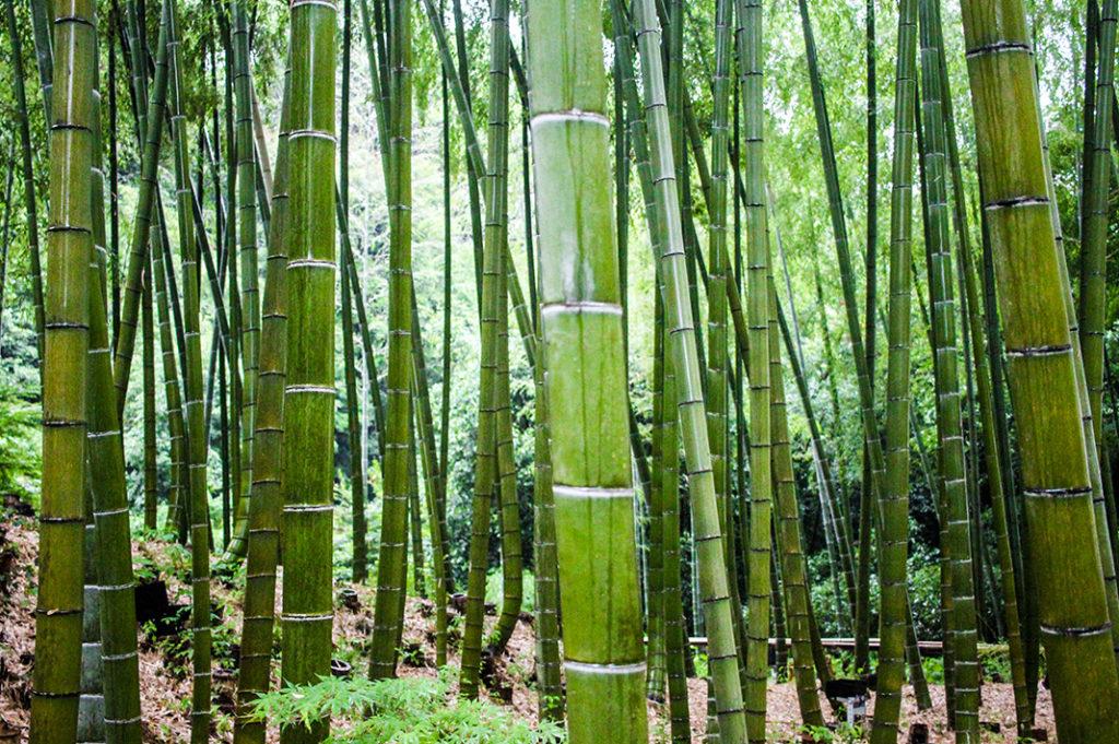 The Bamboo Grove at Kodaiji Temple in Higashiyama ward