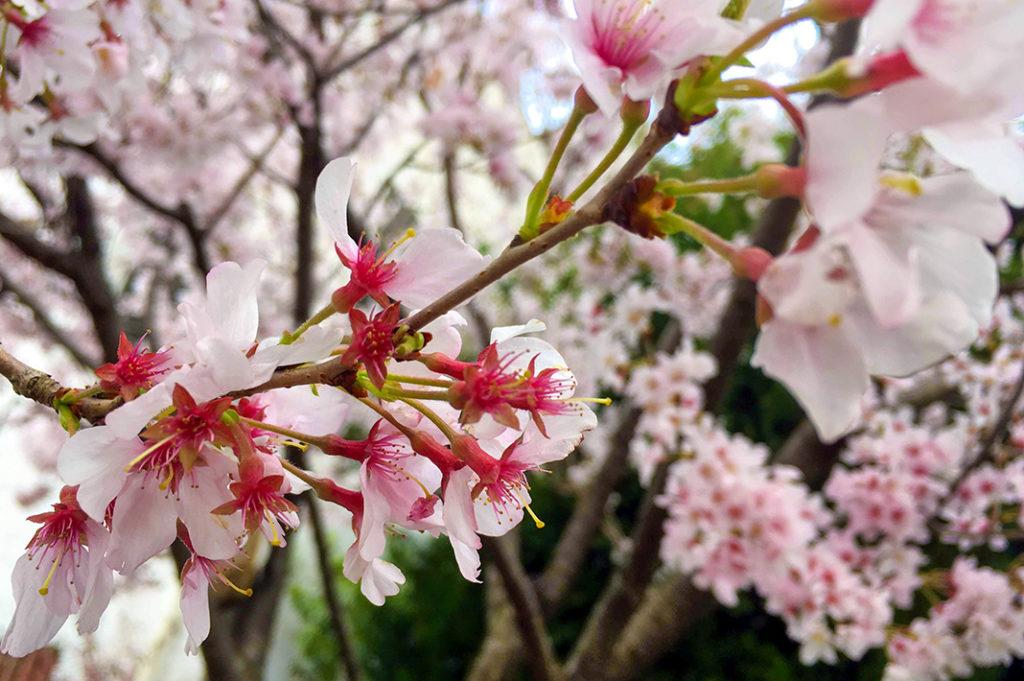 Cherry blossoms at Yoyogi Park