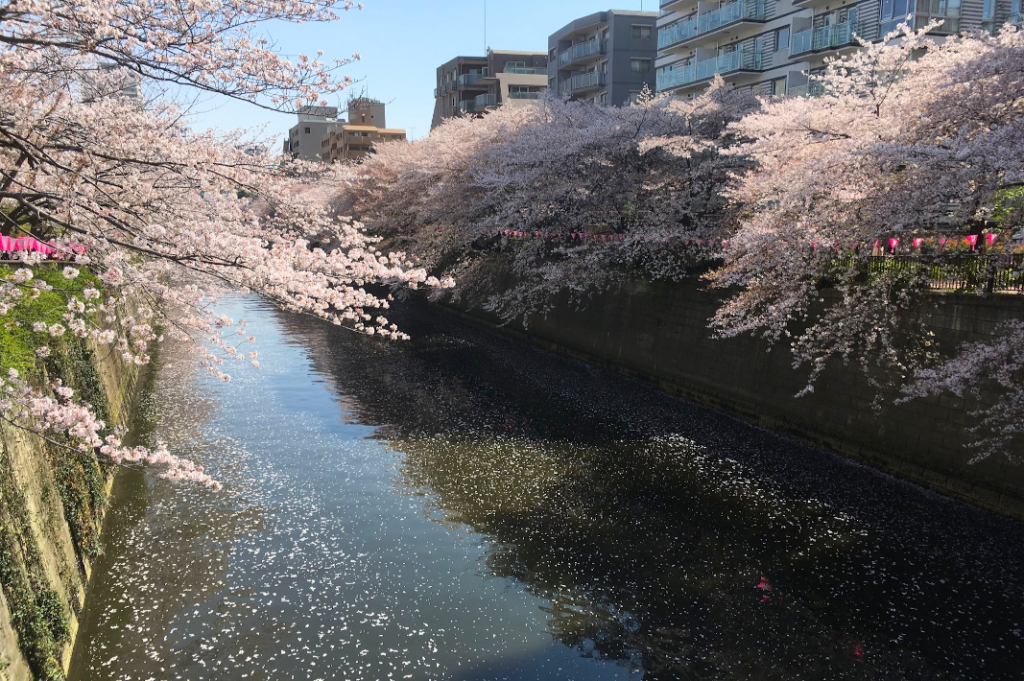 The Meguro River fills with blossoms in the spring.