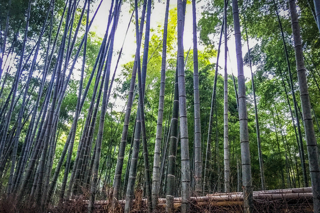 Cap off your visit to Shoden-ji Temple by exploring the nearby bamboo groves
