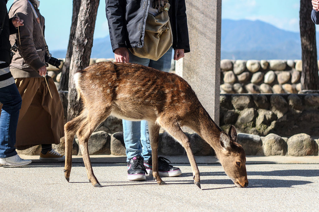 Deer on Miyajima