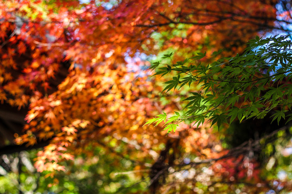 Autumn foliage on Miyajima