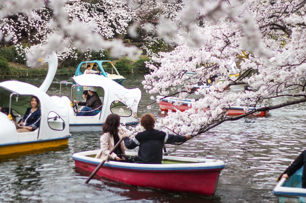 Boating under the sakura in Inokashira Pond