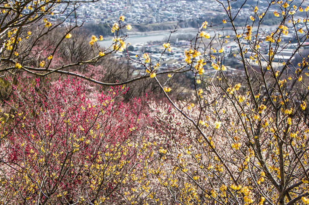 Cherry blossoms and Wintersweet