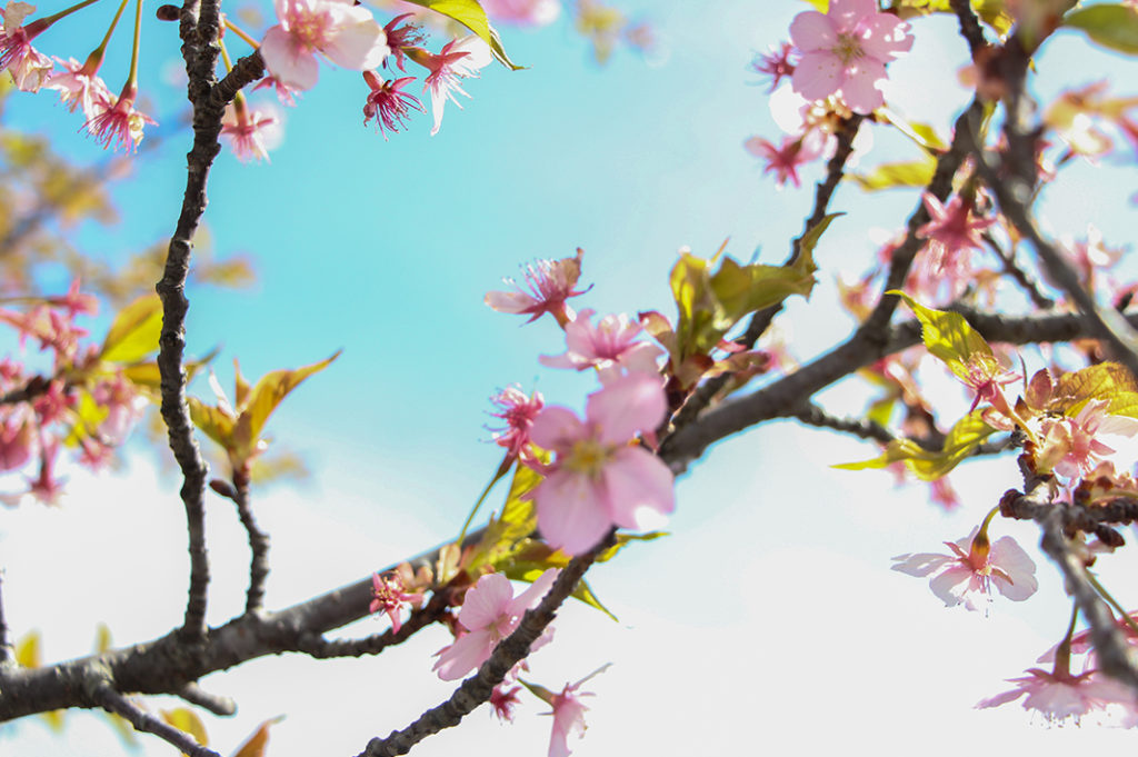 Cherry blossoms are a great feature on your Nagatoro day trip