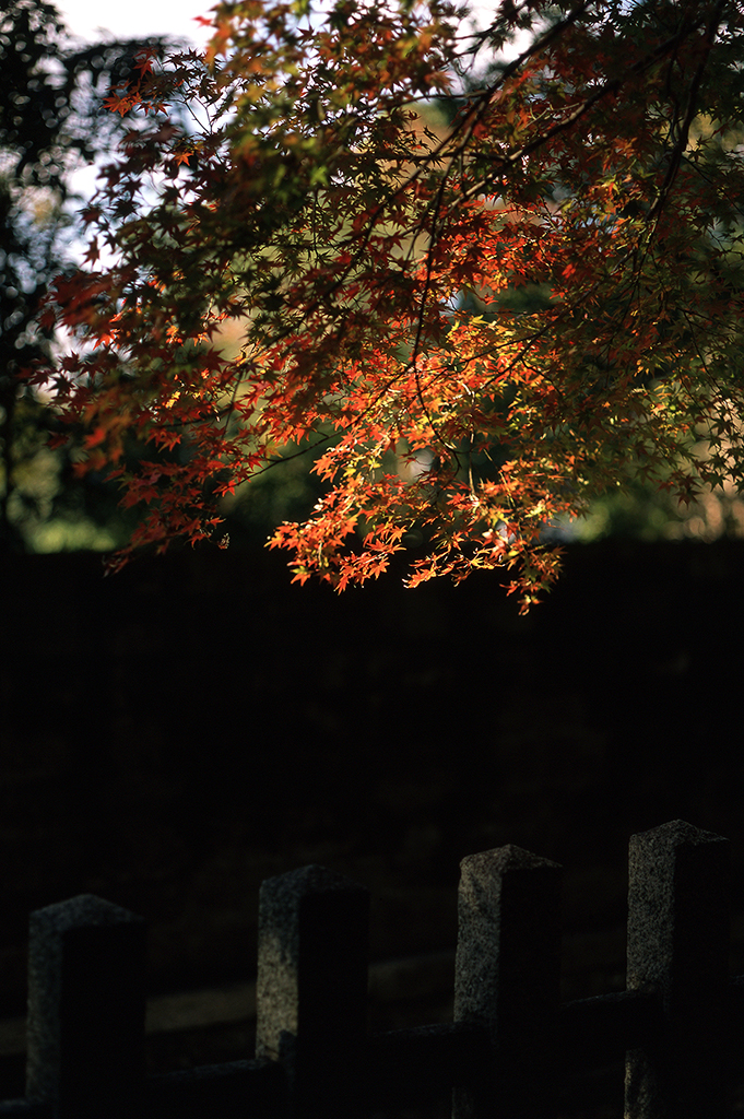 In Autumn, golden afternoon light illuminates the maple trees on the shrine's outer perimeter.