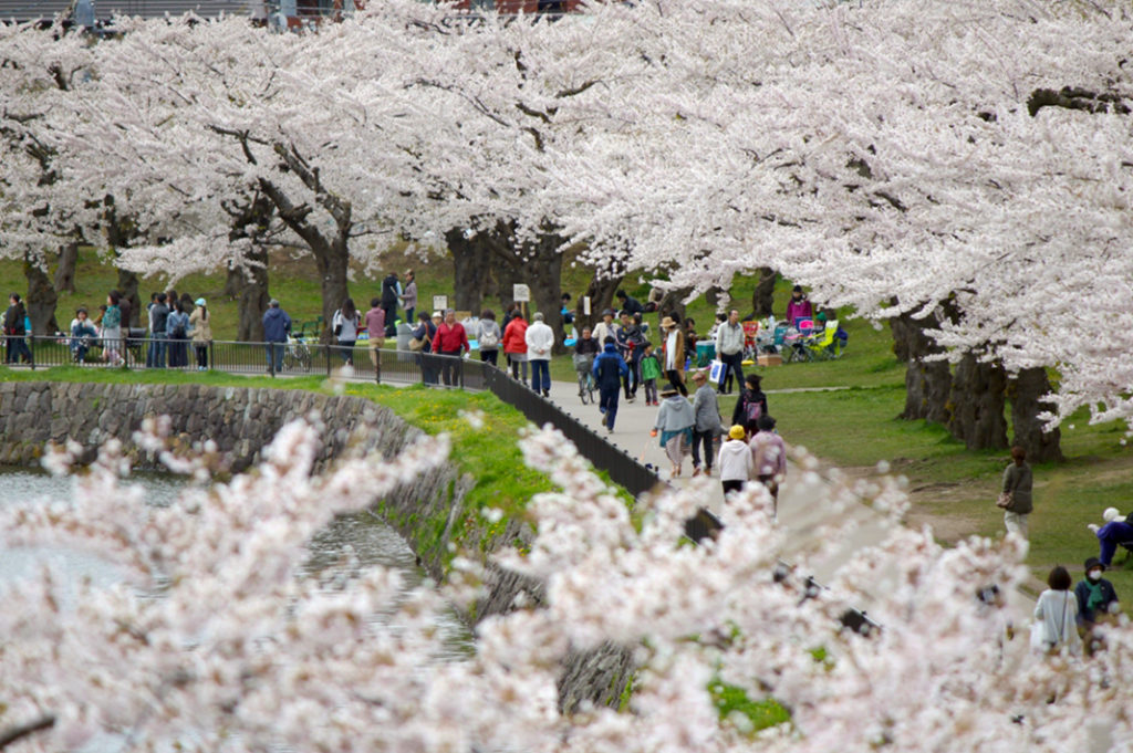 Yoshino Cherry, or Somei Yoshino, are the most popular variety cherry blossom in Japan. Keep an eye out the next time you hanami.