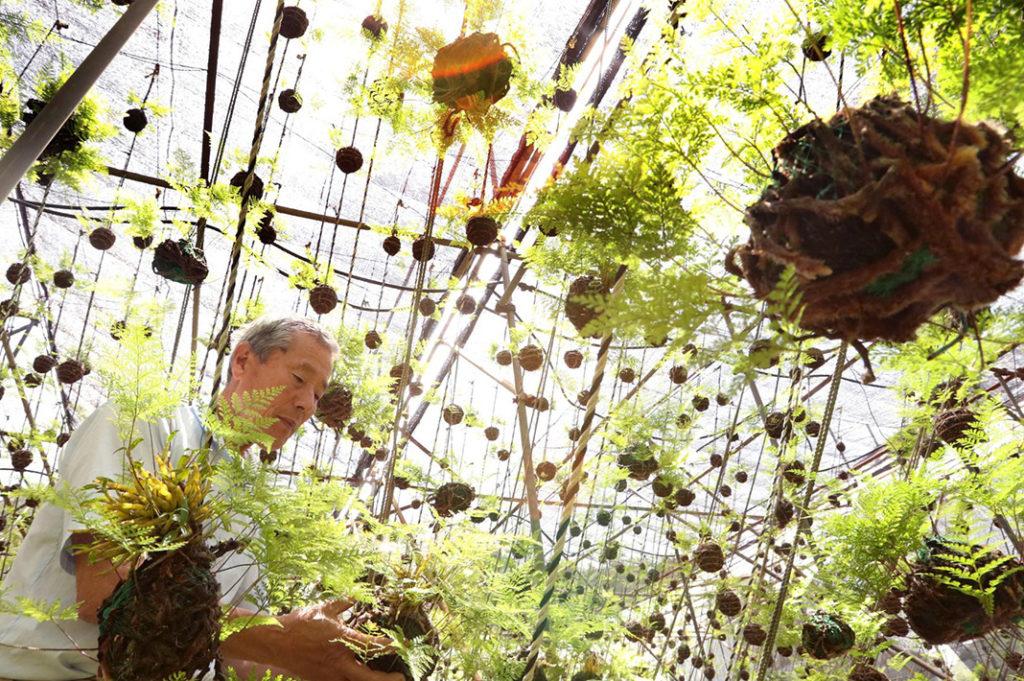 Tsurishinobu: Hyogo's Decorative Ornamental Ferns