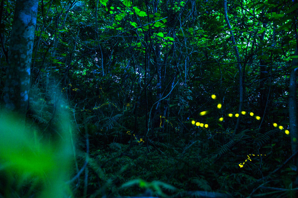 Ishigaki Fireflies hotaru